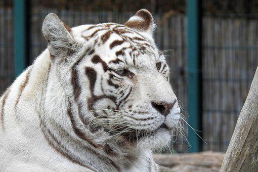 White-tiger, Tiger, White, Predator, Big Cat, Zoo
