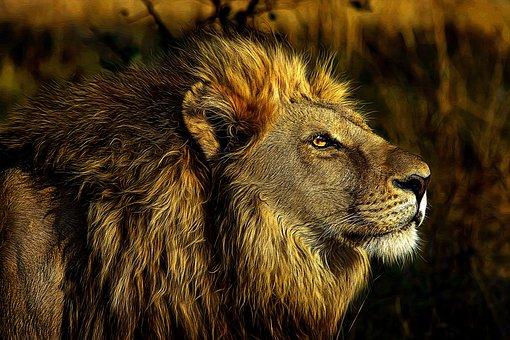 Lion, Wild, Animal, Animal World, Nature, Africa