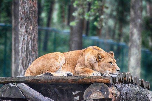 Lion, Lioness, Predator, Animal, Safari, Nature, Wild