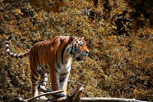Tiger, Animal, Animal World, Predator, Wildcat, Big Cat