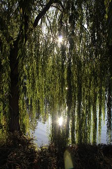 Willow, Willow Tree, Outdoors, Nature, Park, Deciduous