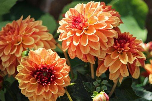 Dahlias, Geothermal, Dahlia, Orange, Yellow, Petals