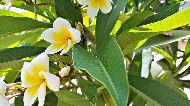 Flower, Nature, Pluméria, Yellow, Hawaii, Tree, Green