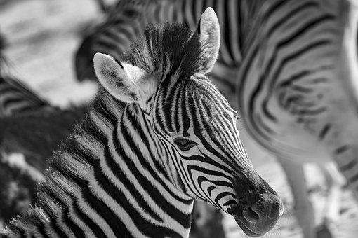 Africa, Zebra, Black And White, Safari, Animal, Stripes