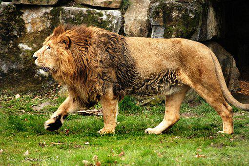 Lion, King, Africa, Animal, Feline, Wild, Moons, Cat