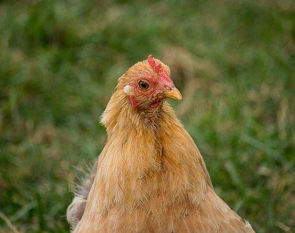 Chicken, Hen, Bird, Animal, Animal World, Poultry