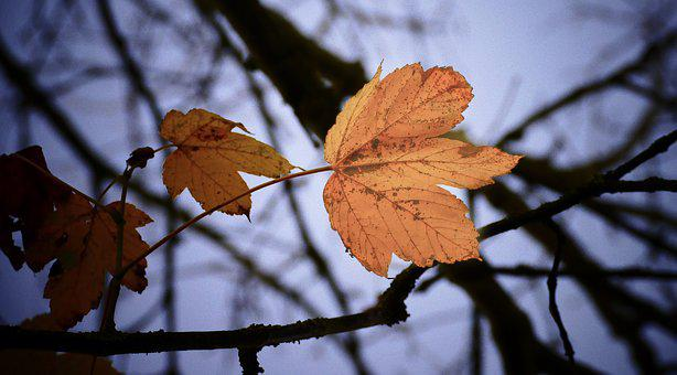 Autumn, Leaves, Nature, Fall, Tree, Forest, Leaf, Maple