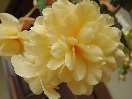 Begonia, Flower, Flowers, Summer, Garden, Nature
