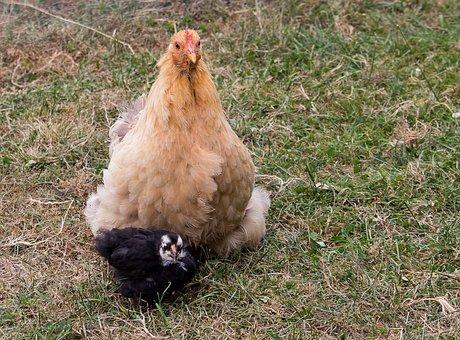 Chicken, Bird, Poultry, Hen, Agriculture, Animal