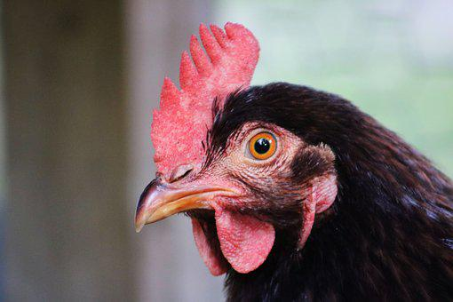 Chicken, Comb, Farm, Poultry, Bird, Feather, Livestock