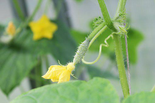 Cucumber, Little Pickle, Blooms, Small Cucumber, Plant