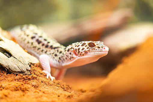 Gecko, Leopard Gecko, Lizard, Reptile, Desert