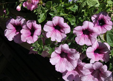 Petunia, Flower, Bloom, Blossom, Summer, Garden