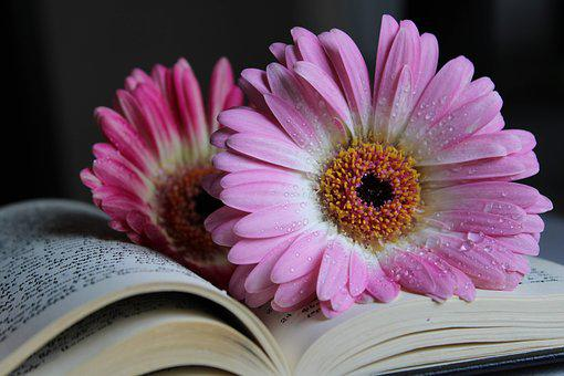 Gerbera, Flower, Nature, Water Drop, Book, Pink