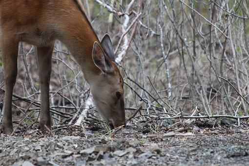 Deer, Hybrid, X Axis Deer Elk, Ovis, Animal, Mammal