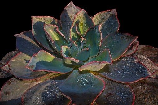 Succulent, Nature, Plant, Garden, Potted, Decor, Leaf