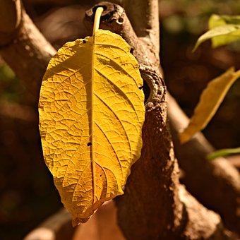Yellow Leaf, Plant, Vein, Pattern, Angel Trumpet