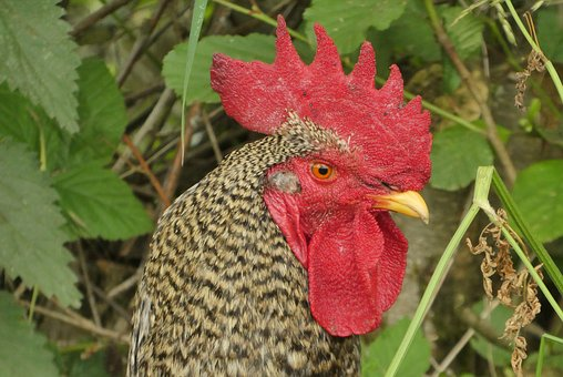 Chicken, Comb, Poultry, Farm, Bird, Beak, Plumage, Red