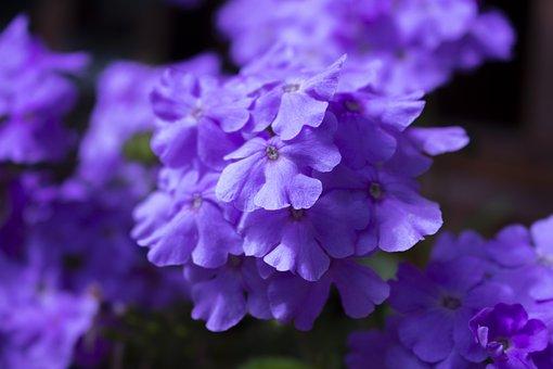 Flowers, Violets, Pots, Garden, Plants, Hydrangeas