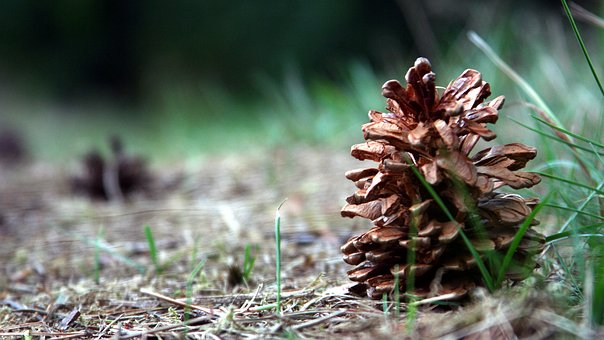 Pine Cone, Forest, Tree, Nature, Pine, Coniferous