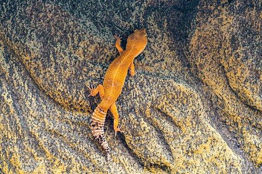 Gecko, Leopard Gecko, Climb, Wall, Reptile