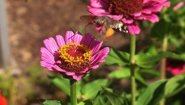 Nature, Hummingbird Hawk Moth, Zinnia, Owls