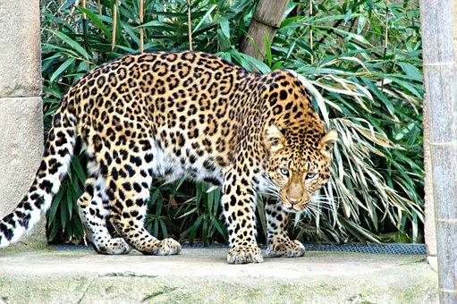 Leopard, Zoo, Feline, Predator