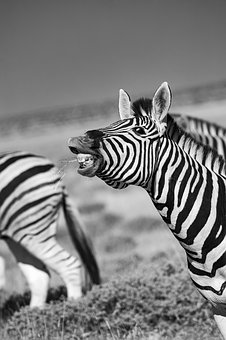 Zebra, Africa, Laugh, Stripes, Animal, Animal World