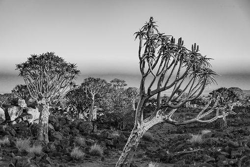 Africa, Landscape, Quiver Tree, Black And White, Nature