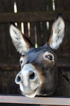 Donkey, Animal, Head, Long Ears, Portrait, Ears, Sweet