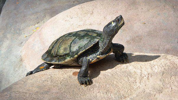 Turtle, Reptile, Animal, Nature, Animal World, Close Up