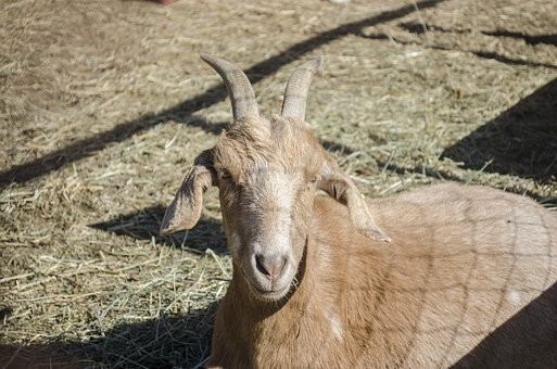 Goat, Animal, Horns, Animals, Animal Husbandry, Mammal