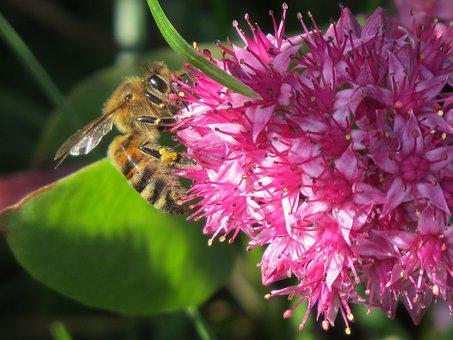 Bee, Flower, Pollination, Collect, Nectar, Pollen