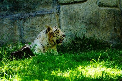 Bengal Tiger, Savannah, Tropical Forests, Carnivorous