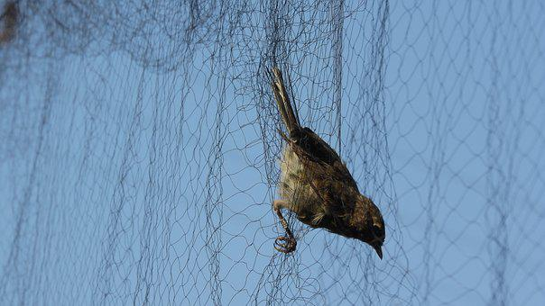 Ornithology, Caught A Bird, Bird In The Net