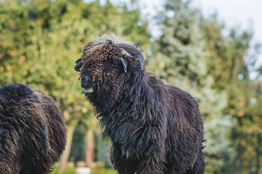 Sheep, Black, Black Sheep, Animal, Farm, Animal Farm