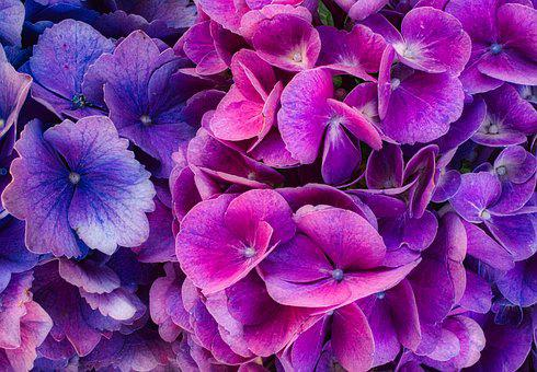 Hydrangea Flower, Blossom, Bloom, Bright, Purple, Pink