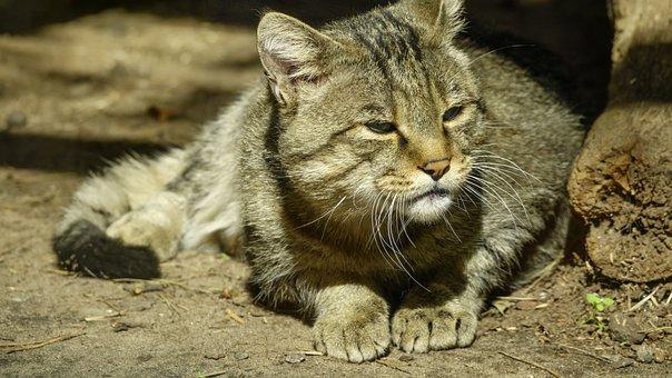 Cat, Wild, Carpathian, Forest, Animal, Mammal, Predator