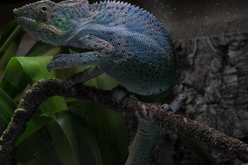 Panther Chameleon, Chameleon, Close Up