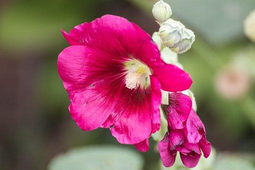 Clematis, Flowers, Creeper, Flower, Vegetable, Petals