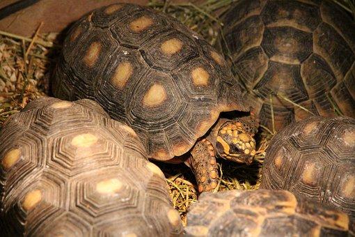 Tortoise, Coal Turtle, Red-legged Tortoise, Reptile
