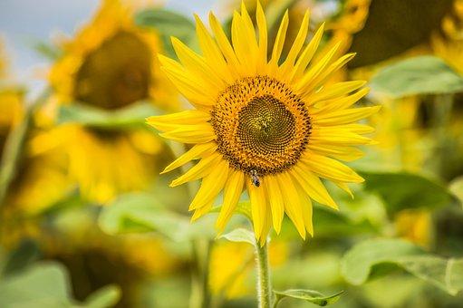 Sun, Sunflower, Yellow, Bee, Summer, Landscape, Field