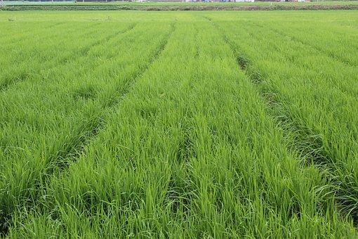 Mungyeong, Film Organic Way, Rice Farming 3