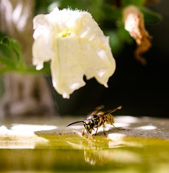 Animal World, Insect, Wasp, Sting, Flying, Thirst