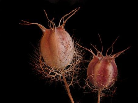 Black Cumin, Boll, Faded, Fruit Capsule, Seeds, Nigella