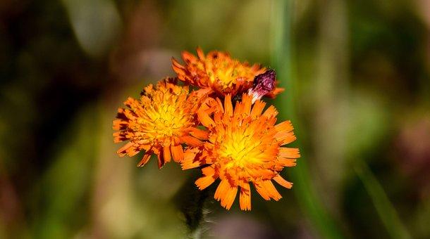 Fox And Cubs, Flowers, Orange, Plant, Garden, Petal