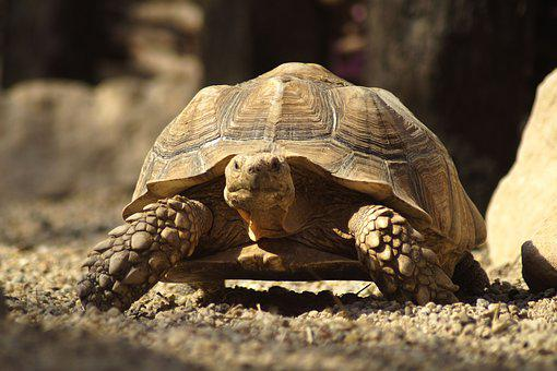 Turtle, Giant Tortoise, Carapace, Animal World, Giant