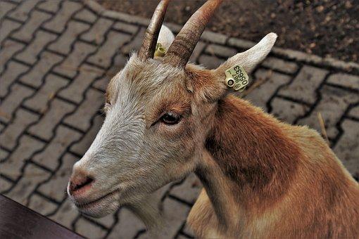 Goat, Fur, Rough, Horns, Animals, Mammal, Playful