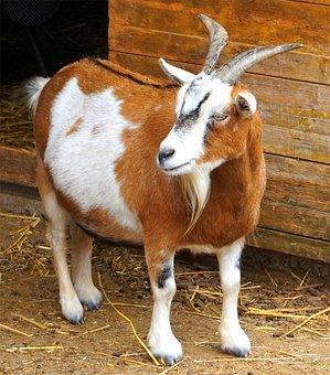 Goat, Animal, Horns, Domestic Goat, Farm, Goat Buck
