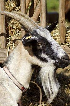 Goat, Billy Goat, Animal, Horns, Mammals, Domestic Goat